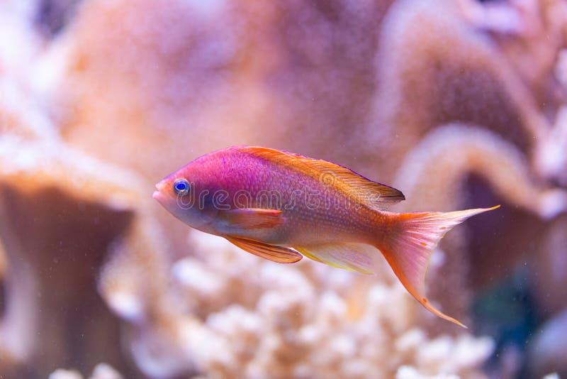 Pseudanthias squamipinnis - Θαλασσί γκόλντι στοκ εικόνες