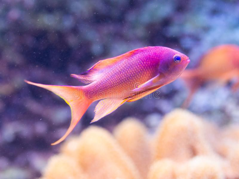 Pseudanthias-squamipinnis - Meer-goldie stockfoto