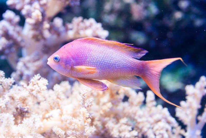 Pseudanthias-squamipinnis - Meer-goldie lizenzfreie stockfotos