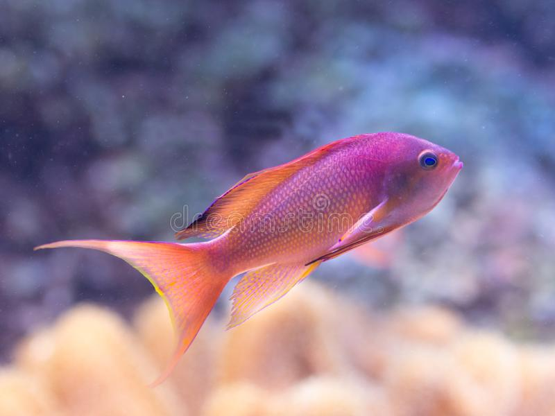 Pseudanthias-squamipinnis - Meer-goldie stockbild