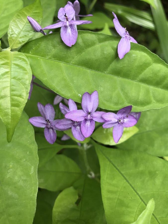 Pseuderanthemum graciflorum, fiołka ixora lub Błękitny mroczny kwiat obraz royalty free