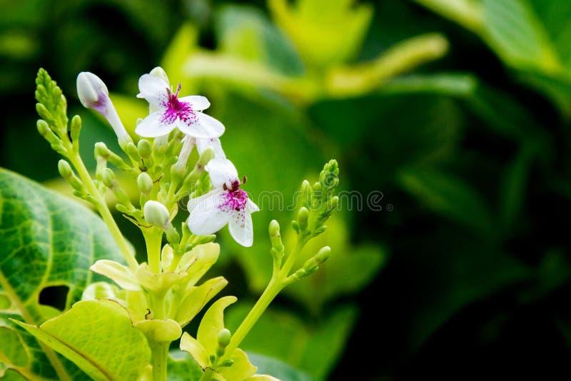 Pseuderanthemum Reticulatum stock afbeelding