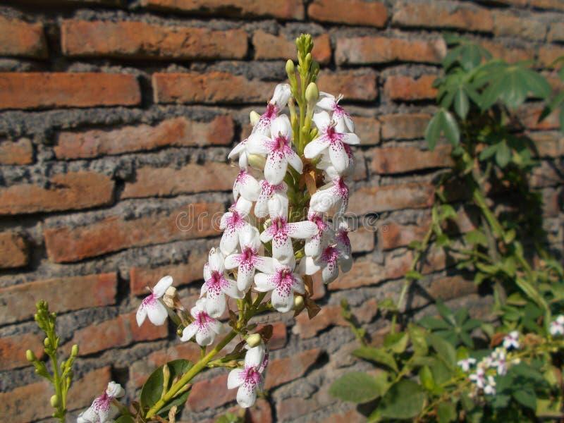 Pseuderanthemum reticulatum flower close up against brick wall. Pseuderanthemum reticulatum flower close up  on the tree against red brick wall stock photos