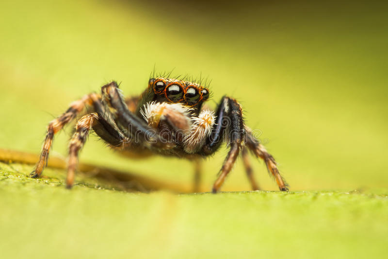 Download Pseudeuophrys Jumping Spider Stock Image - Image of spider, lanigera: 27179509