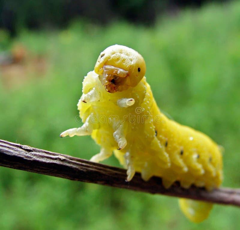 Pseudo-oruga de la mosca de sierra fotos de archivo libres de regalías
