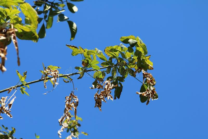 Pseudoacacia, συνηθισμένο & x28 Robinia Robinia pseudoacacia& x29  στοκ εικόνα