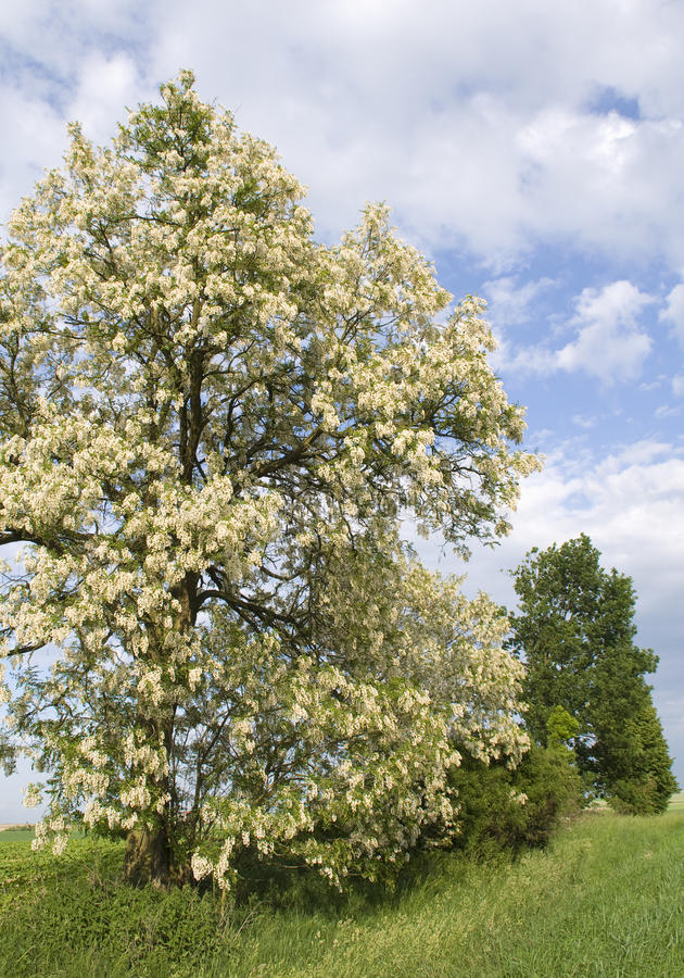Pseudoacacia de Robinia photographie stock libre de droits
