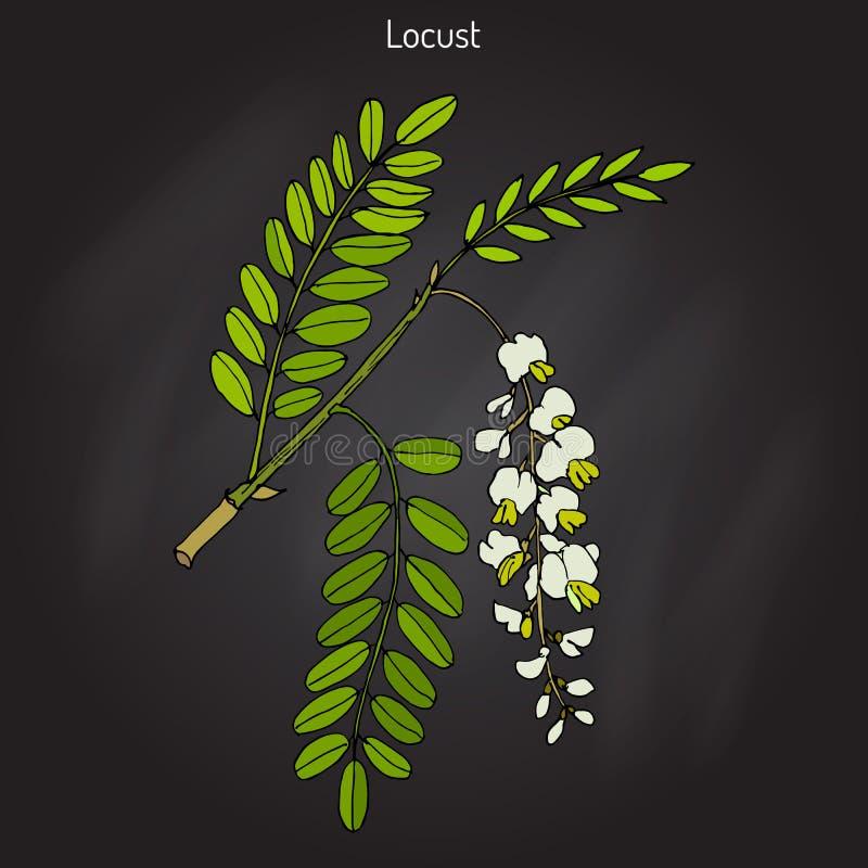 Pseudoacacia do Robinia, ou locustídeo pretos ilustração stock