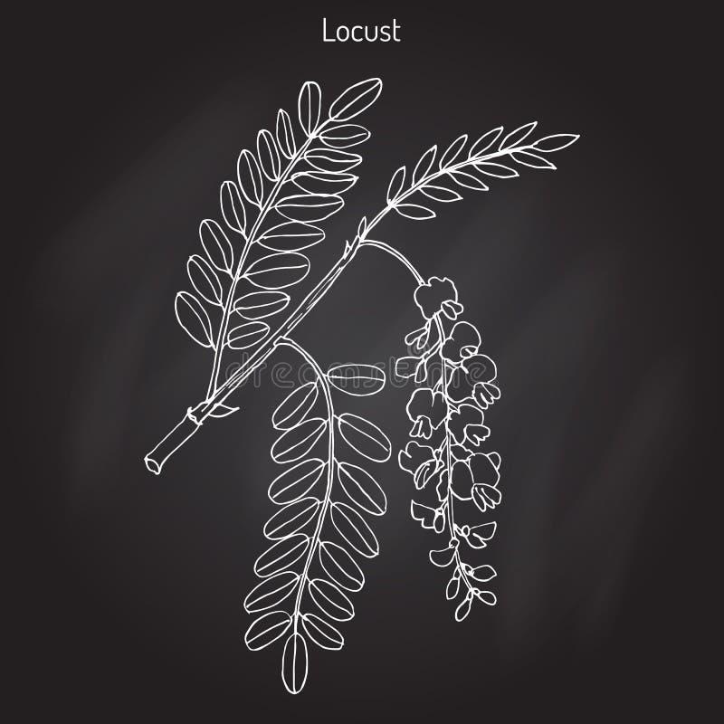 Pseudoacacia do Robinia, ou locustídeo pretos ilustração do vetor