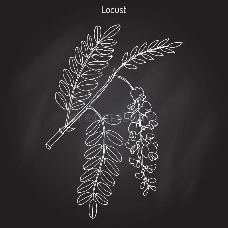 Pseudoacacia Robinia, ή μαύρη ακρίδα διανυσματική απεικόνιση
