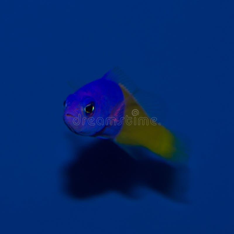 Pseudochromis bicolor imagenes de archivo