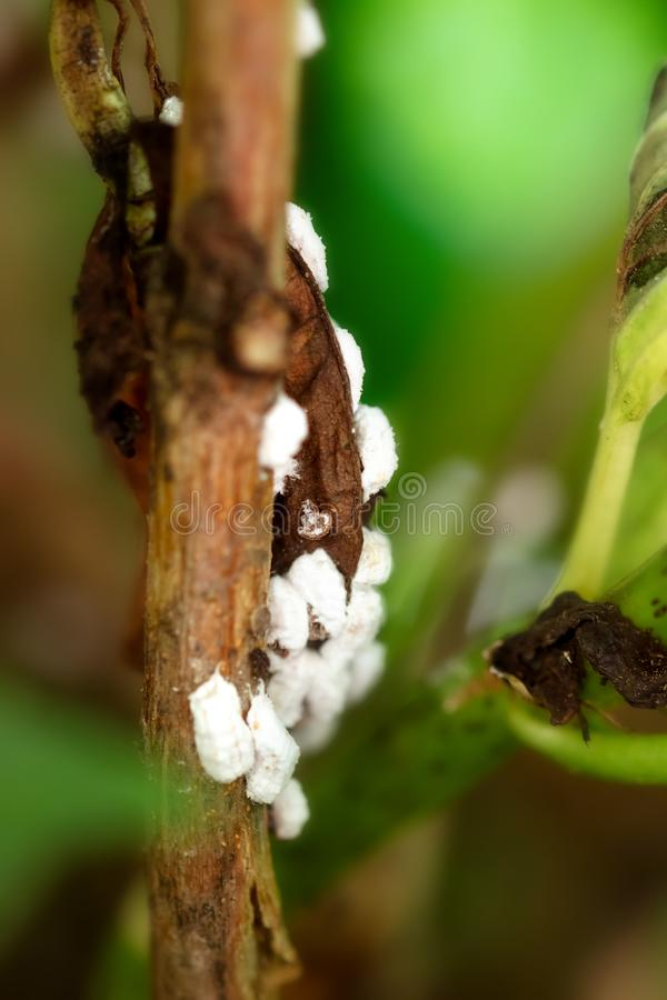 Pseudococcidae infestation na roślinie, biali mealybug jajka i kokony, atakujemy zdjęcie stock