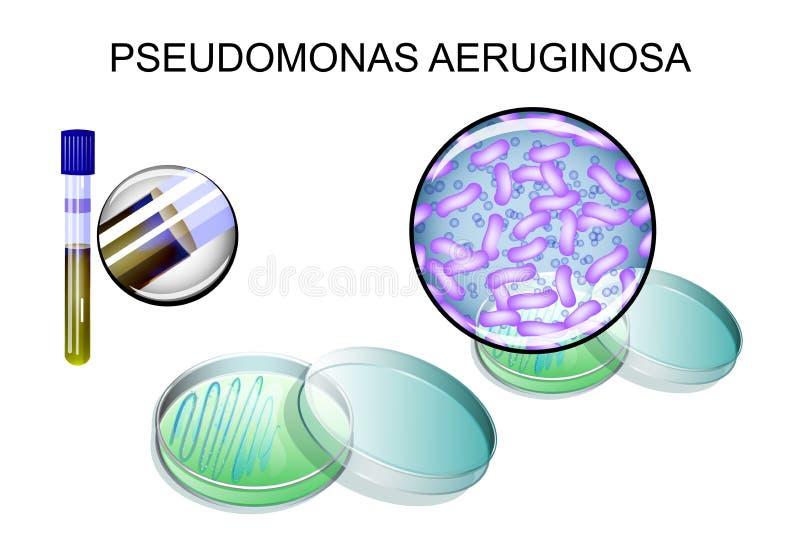 Pseudomonas - aeruginosa bakteryjny oczkowanie royalty ilustracja
