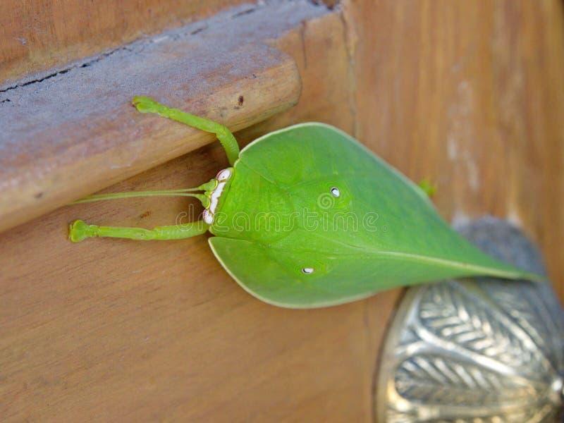 Pseudophyllus巨人是灌木蟋蟀的种类, subfami 免版税库存图片
