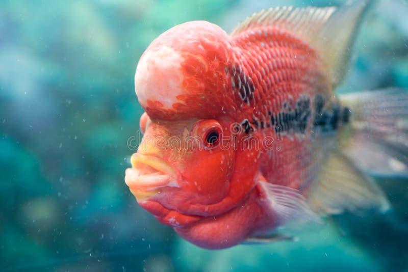 Pseudorabora parva ï ¼ ŒPet ryba obrazy stock