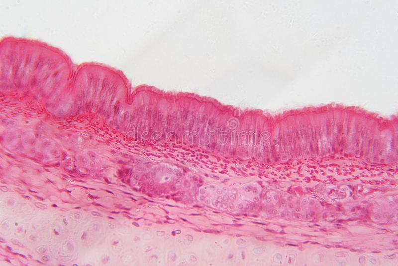 Pseudostratified-Epithel ist eine Art Epithel das lizenzfreies stockbild