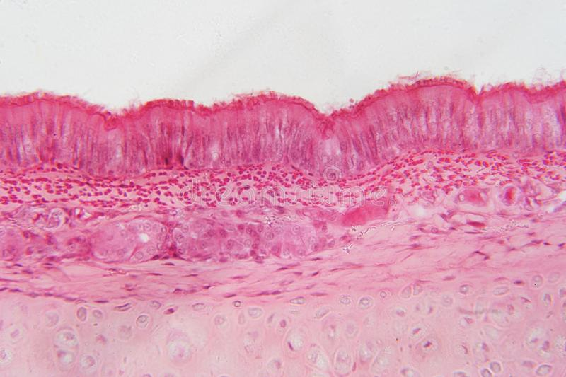 Pseudostratified epithelium is a type of epithelium that vector illustration