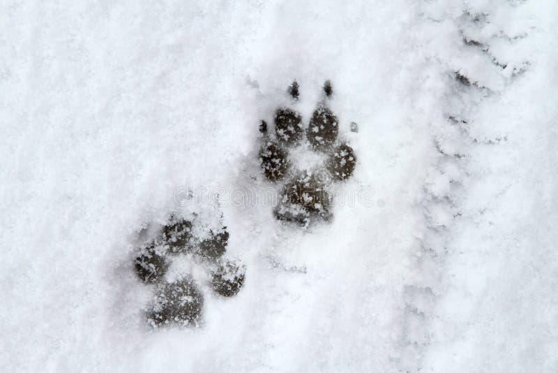 Psi łapa druk w śniegu fotografia royalty free