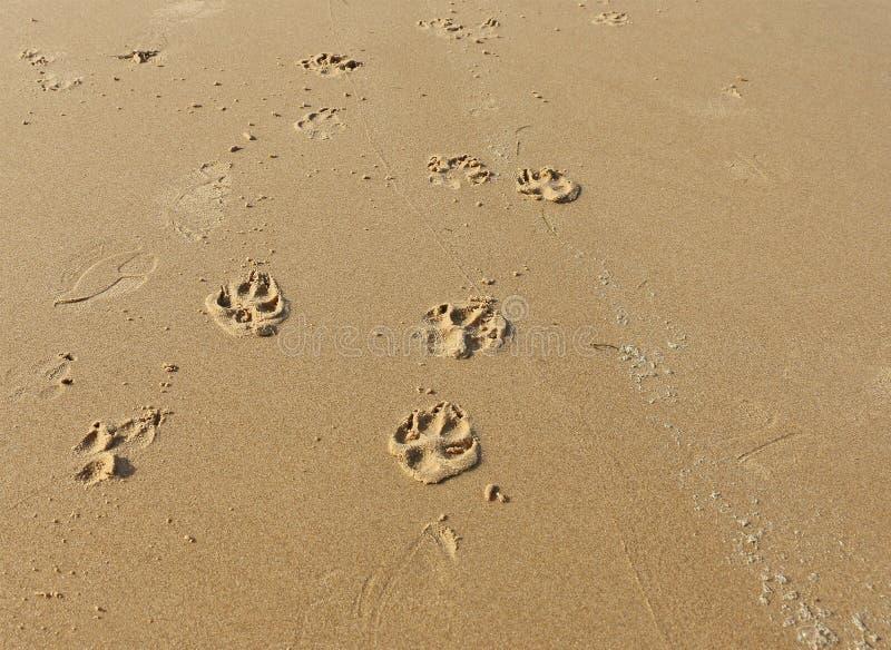 Psi łapa druki w piasku na plaży obraz stock