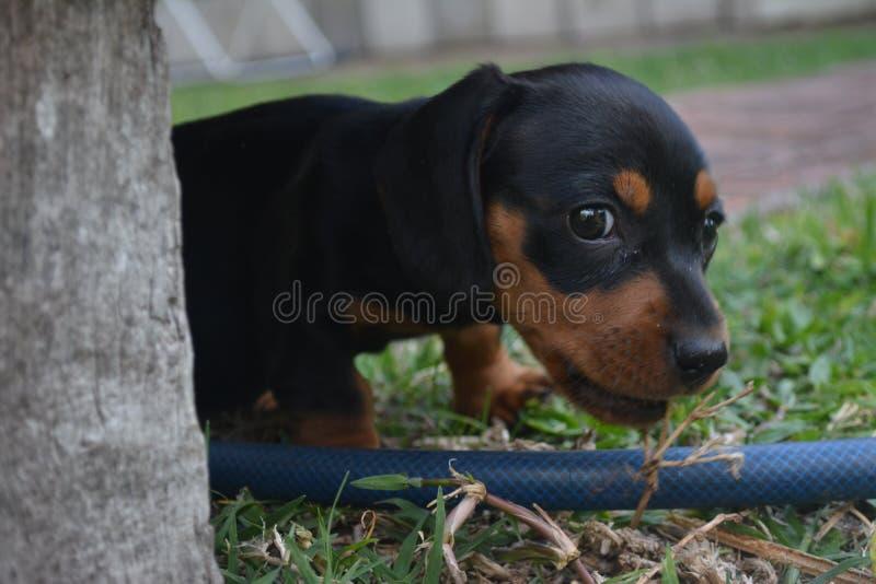 Psi łasowanie trawy zieleni śliczny szczeniak zdjęcie royalty free