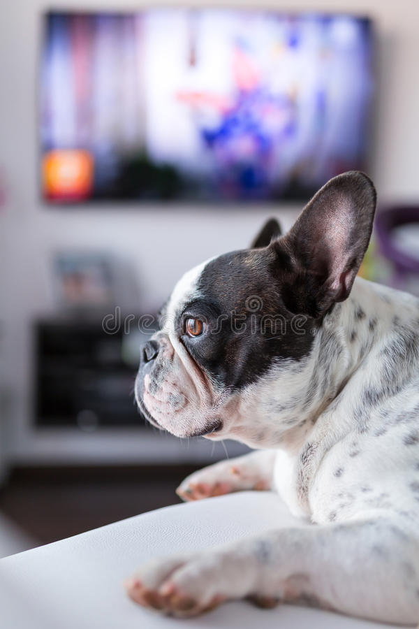 Psi łgarski puszek przy TV obrazy royalty free