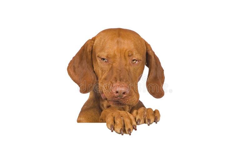 psi śmieszny portret zdjęcia royalty free