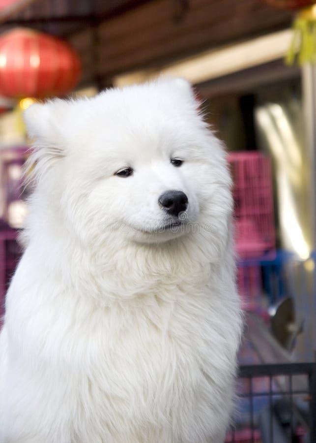 psi śnieżny biel obraz stock