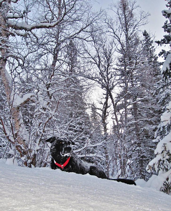 psi śnieg obrazy stock
