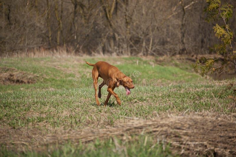 psi śródpolny trawiasty vizsla obraz royalty free