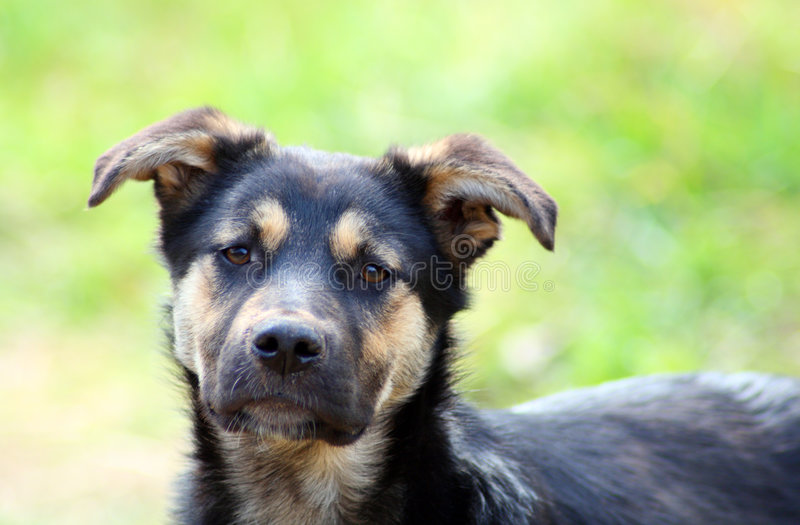 psi żałośni zabłąkany young obrazy royalty free