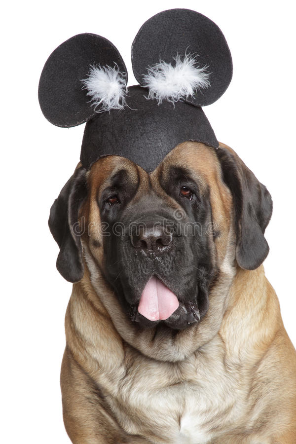 psi angielski śmieszny kapeluszowy mastif fotografia stock