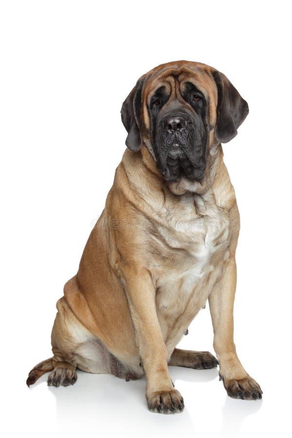 psi angielski mastif zdjęcie royalty free