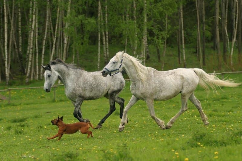 psi arabskich koni arabskich prowadzi shagya obraz royalty free