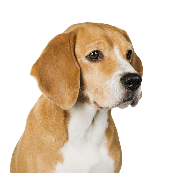 Psi Beagle obraz royalty free