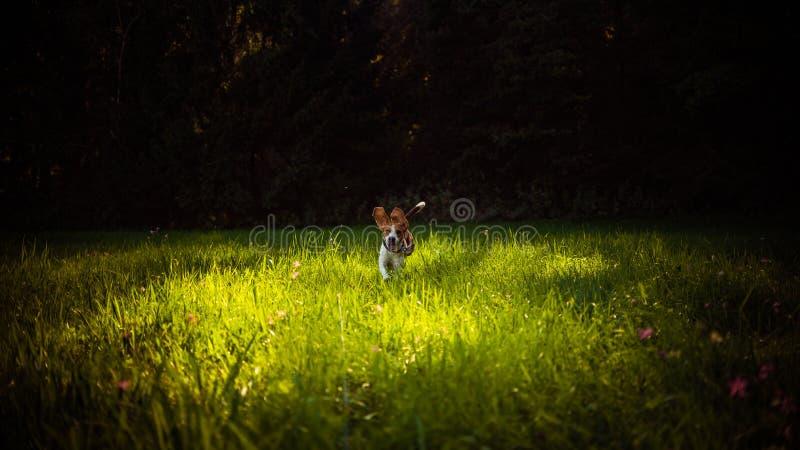 Psi Beagle ma zabawa bieg w kierunku kamery z jęzorem w kierunku za kamerze w letnim dniu na łące obraz stock