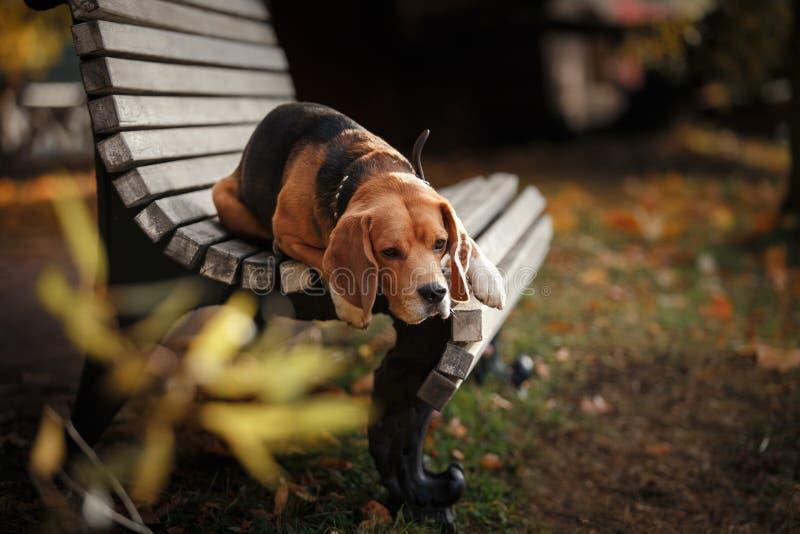 Psi Beagle odprowadzenie w jesień parku fotografia stock