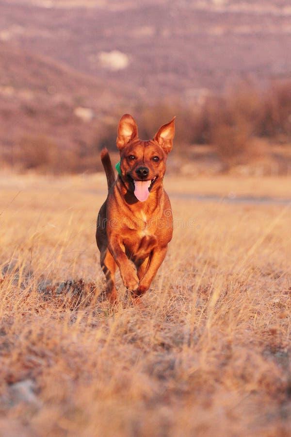 psi bieg obrazy royalty free