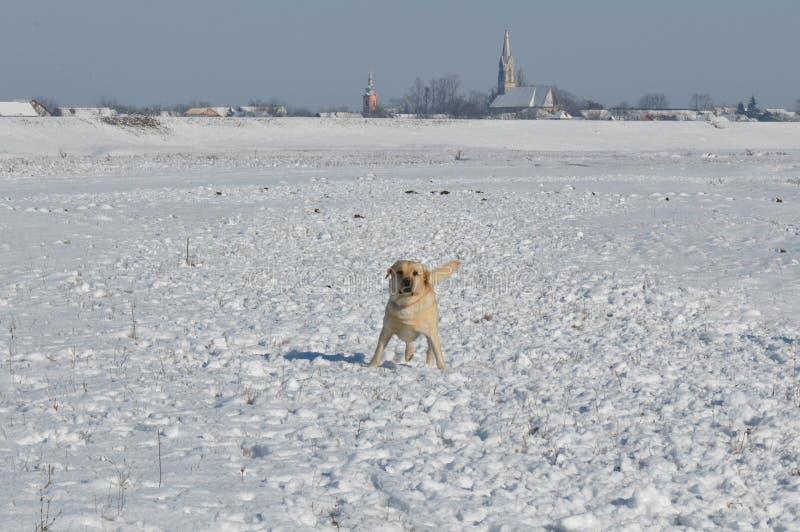 Psi bieg na śniegu obraz royalty free