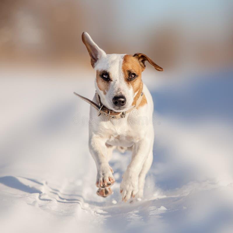 Download Psi bieg przy zimą obraz stock. Obraz złożonej z playing - 106912431