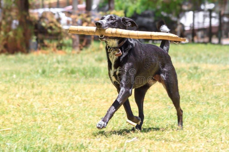 Psi bieg z bambusem. zdjęcia royalty free