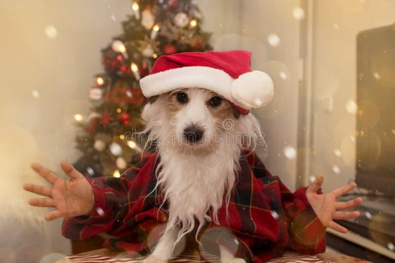 Psi boże narodzenia ŚMIESZNY JACK RUSSELL szczeniak JEST UBRANYM CZERWONEGO ŚWIĘTY MIKOŁAJ kostium Z brodą I kapelusz PRZECIW cho zdjęcie royalty free