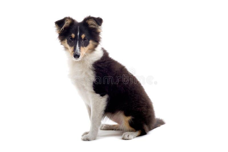 psi collie, szczeniak szkocką obraz stock