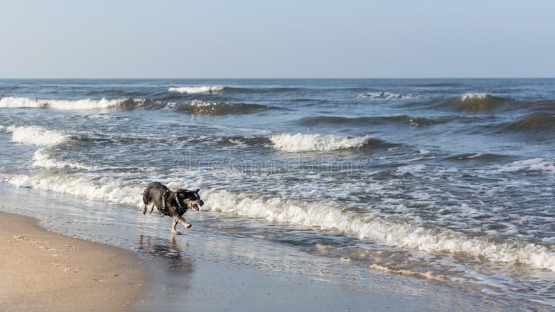 Psi cyzelatorstwo macha na plaży zdjęcia stock