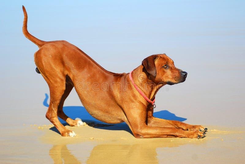 psi dogadzanie obrazy royalty free