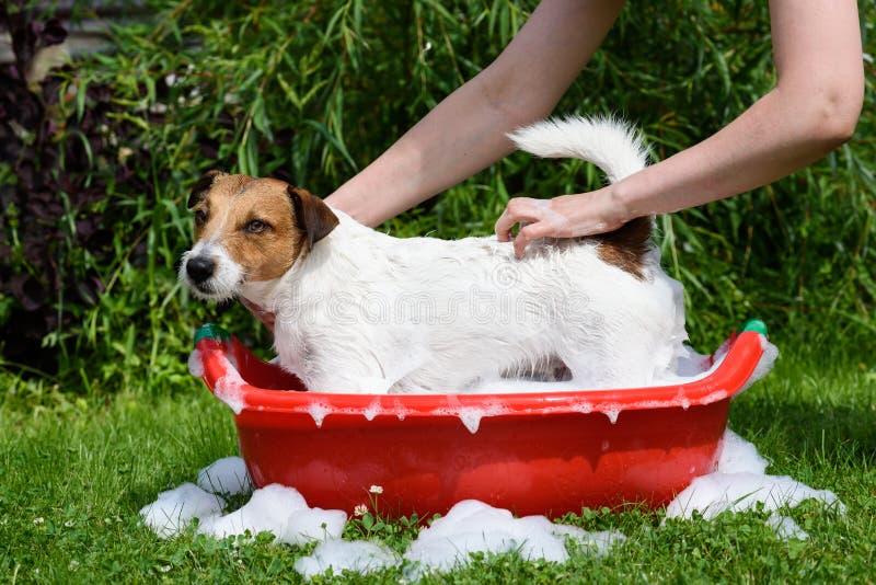 Psi domycie z mydło pianą w czerwonej miednicie przy na wolnym powietrzu zdjęcie royalty free