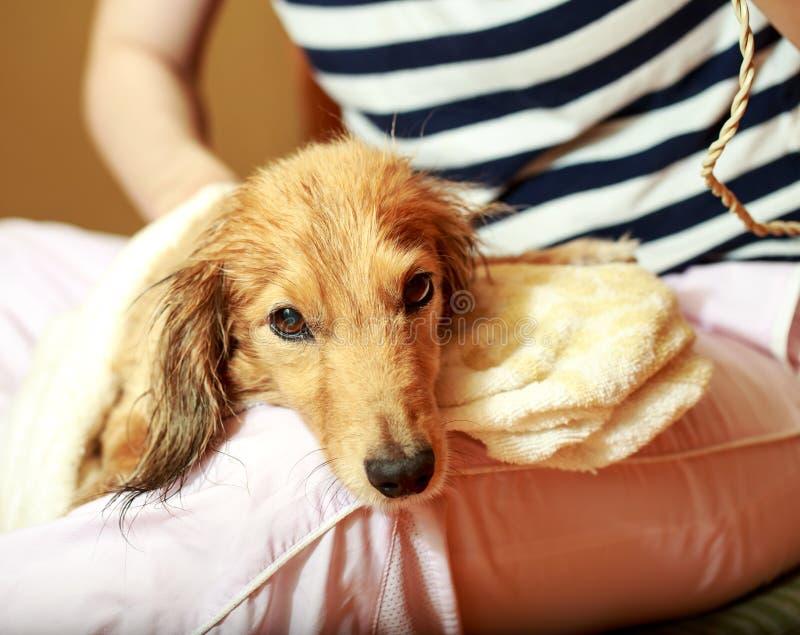 Psi dostawać jego futerko suszył z dmuchawą przy groomer fotografia stock