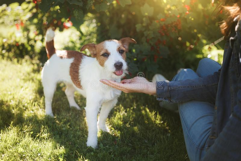psi dziewczyny bawić się Jack Russell Terrier w naturze Lato obraz royalty free