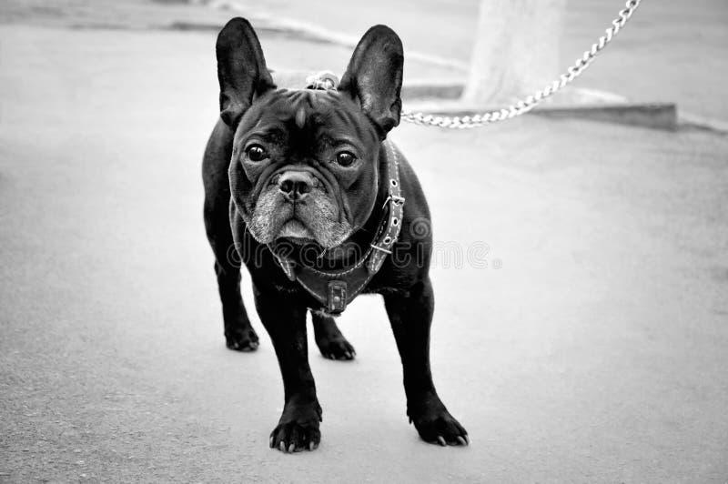 Psi Francuski buldog na ulicie fotografia stock