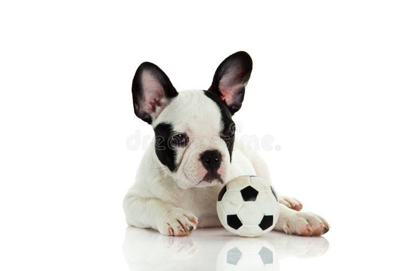 Download Psi Francuski Buldog Odizolowywający Na Białym Tle Z Futbolową Piłką Nożną Obraz Stock - Obraz złożonej z piłka, śliczny: 53784817