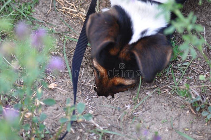 Psi głębienie dziura fotografia stock